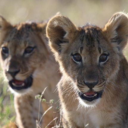 Lion pride on Borana Conservancy