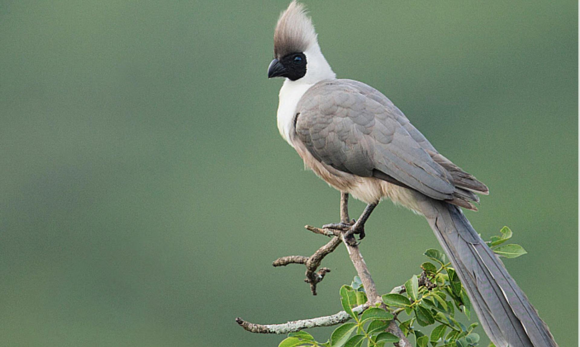 Bare faced go away bird