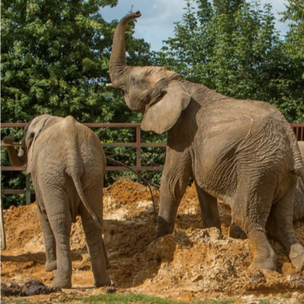 A World first UK zoom elephants move to Kenya