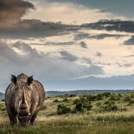 Rhino on Borana